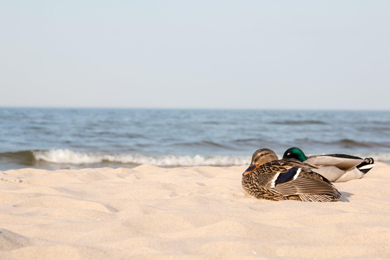 Enten am Strand von Bansin
